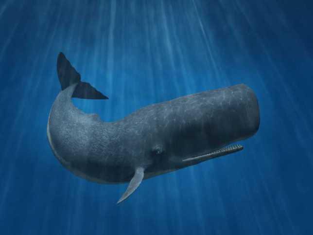 sperm-whale-05